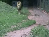 Lion jumps up on glass at zoo