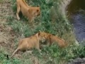 Lions turn on lioness, she defends herself well