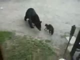 Pet cat attacks a thieving Bear