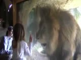 Girls blows a kiss to a lion, lion goes crazy