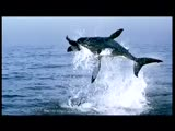 Great white jumping at prey