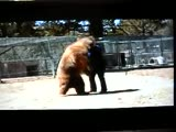 Bear attacks man posing