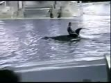 Killer whale jumps on trainer at show