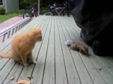 Cheeky squirrel steals peanuts from a cat