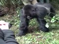Close call with a gorilla, could have ended badly