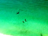 Hammerhead shark chases prey close to swimmers