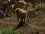 Baboons raise puppies as their own