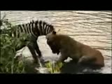 A zebra and lion battle it out