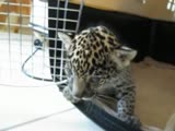 Baby jaguar cub really cute