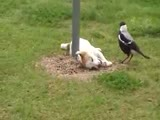 Magpie bird and dog playing