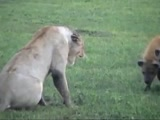 Hyenas steal carcass from lions
