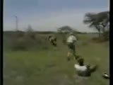 Lion lunges at hunters and gets shot close call