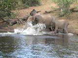Crocodile attacks an elephant