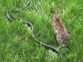 Rabbit vs Snake, amazing!