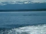 Killer whale jumps close to boat