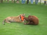 Orangutan and Tiger friends