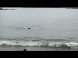 Killer whales swim with a dog